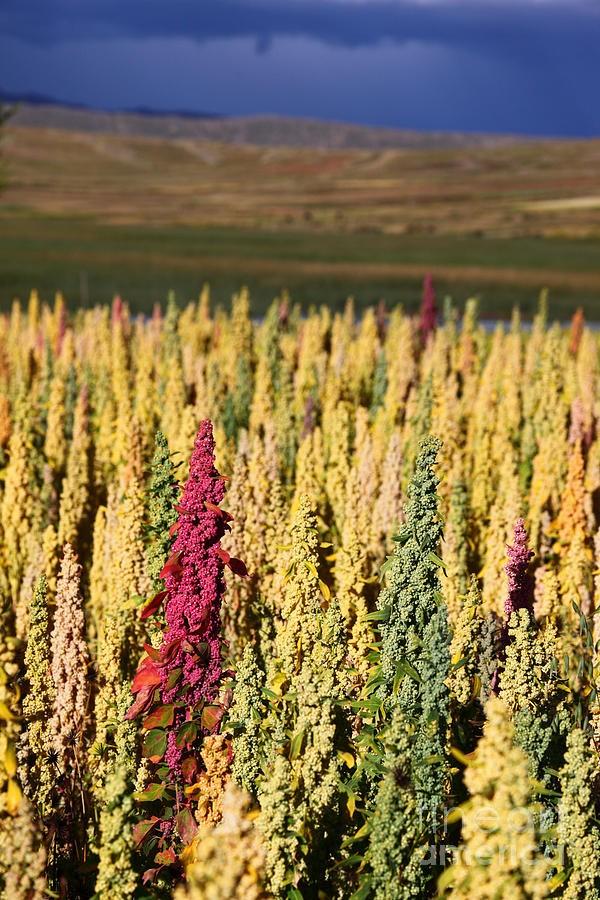 champs quinoa