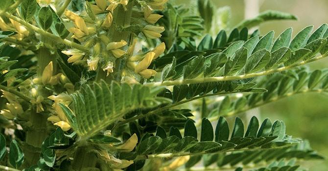 astragale plante