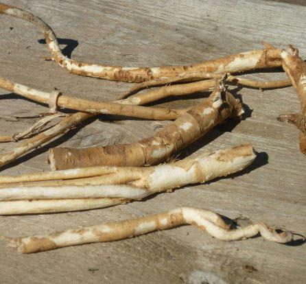 racines d'astragale